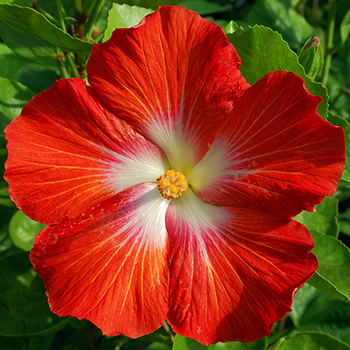 Tropical Hibiscus 'Home-Grown Tomato'