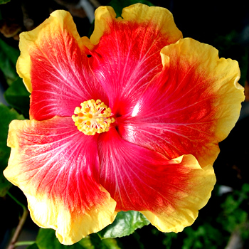 Hibiscus 'Hot Southern Nights'