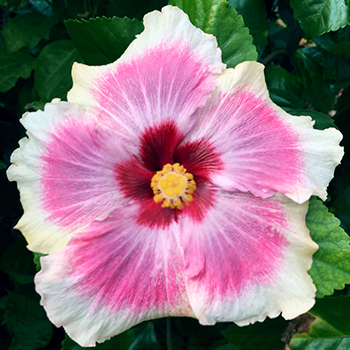Tropical Hibiscus 'Prom Dress'