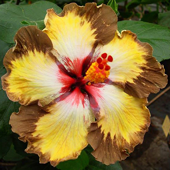 Tropical Hibiscus 'Soul Mate'