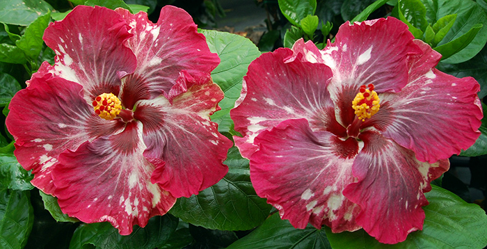 Tropical Hibiscus 'Wild Grape'